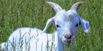 You've goat to be kidding.  Gidget the kid suffers flight delay.